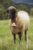Moutons noirs et blancs dans le domaine photos libres de droits