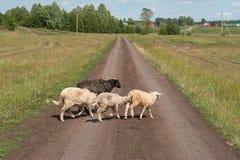 Moutons noirs et blancs sur la route à la lumière du soleil lumineuse Photo libre de droits