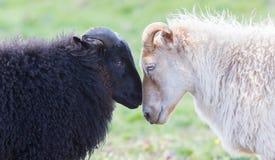 Moutons noirs et blancs sur le pâturage - Concent de l'amour Photo stock
