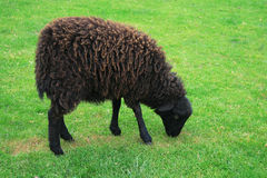 Moutons noirs - moutons d'Ouessant Photographie stock