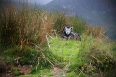 Moutons noirs sur une colline dans la campagne Photos stock