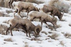 Moutons nord-américains de Big Horn Photographie stock libre de droits