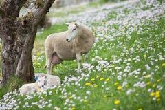 Moutons observant au-dessus de ses agneaux Photographie stock libre de droits