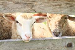 Moutons observant la barrière de thrue Images stock