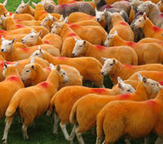 Moutons oranges Images stock