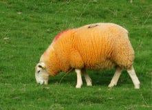 Moutons oranges Photos libres de droits