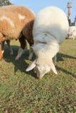 Moutons ou agneau dans le domaine Images libres de droits