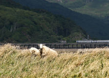 Moutons par Barmouth, Pays de Galles Image libre de droits
