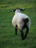 Moutons par derrière Images stock