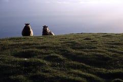 Moutons par la mer Photographie stock