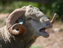 Moutons parlants Images libres de droits