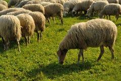 Moutons passant en revue sur l'herbe Photos stock