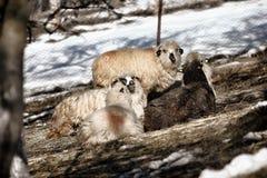 Moutons pelucheux Photo libre de droits