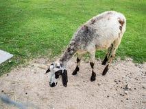 Moutons pelucheux, ferme mignonne de moutons images stock