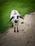 Moutons pelucheux, ferme mignonne de moutons image stock
