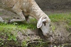 Moutons pendant l'après-midi d'été photo libre de droits
