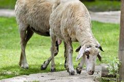 Moutons pendant l'après-midi d'été images stock