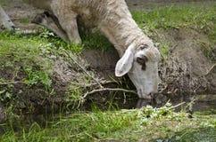 Moutons pendant l'après-midi d'été photo stock