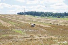Moutons posant pour l'appareil-photo Image stock