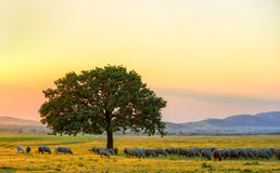 Moutons près d'un chêne dans le coucher du soleil et le ciel Photographie stock libre de droits