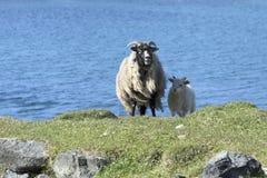 Moutons principaux noirs avec de petits moutons Photo libre de droits