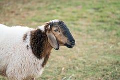 Moutons qui ont juste été tondus sur l'herbe verte Image libre de droits