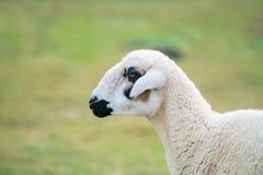 Moutons qui ont juste été tondus sur l'herbe verte Photographie stock