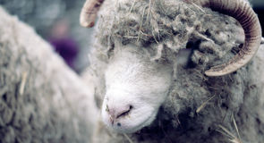 Moutons rêvant sur la laine Photo stock