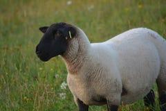 Moutons rêveurs Photographie stock libre de droits