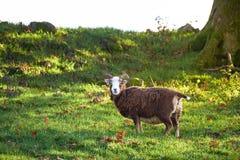Moutons rares de race au coucher du soleil images libres de droits