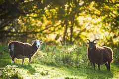 Moutons rares de race au coucher du soleil photo stock