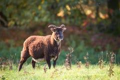 Moutons rares de race au coucher du soleil image stock