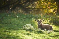Moutons rares de race au coucher du soleil photographie stock libre de droits