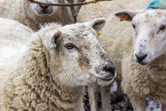 Moutons recueillis ensemble dans un domaine Photos stock