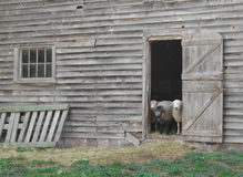 Moutons regardant à l'extérieur une vieille trappe de grange. Photo libre de droits
