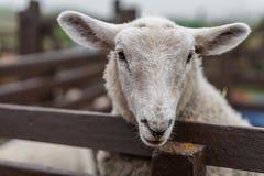 Moutons regardant au-dessus de la barrière Photographie stock libre de droits