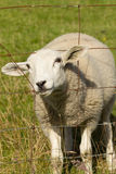 Moutons regardant cependant la barrière en métal Photo stock