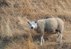 Moutons regardant curieusement le photographe photo libre de droits