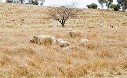 Moutons regardant fixement Photographie stock libre de droits