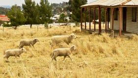 Moutons regardant fixement Image libre de droits