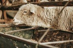 Moutons regardant l'appareil-photo dans une ferme mexicaine Image libre de droits