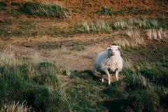 Moutons regardant l'appareil-photo en Islande Photos stock