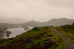Moutons regardant le paysage Photo stock