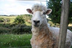 Moutons regardant moi et moi regardant les moutons Images stock