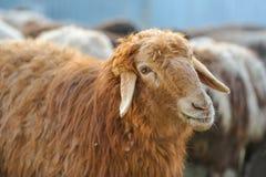 Plan rapproché rouge de moutons Image libre de droits