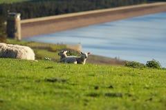 Moutons s'étendant dans le pré Image libre de droits