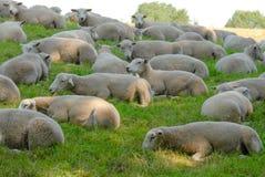 Moutons s'étendant dans le pré d'herbe images libres de droits