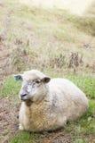 Moutons se reposant dans un pré