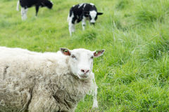 Moutons se situant dans l'herbe avec l'agneau Photo stock