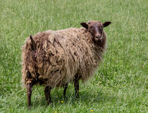 Moutons se tenant sur l'herbe verte Image stock